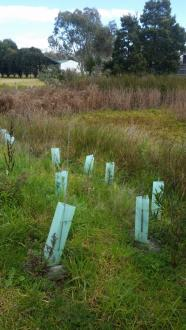 Council planted native trees.