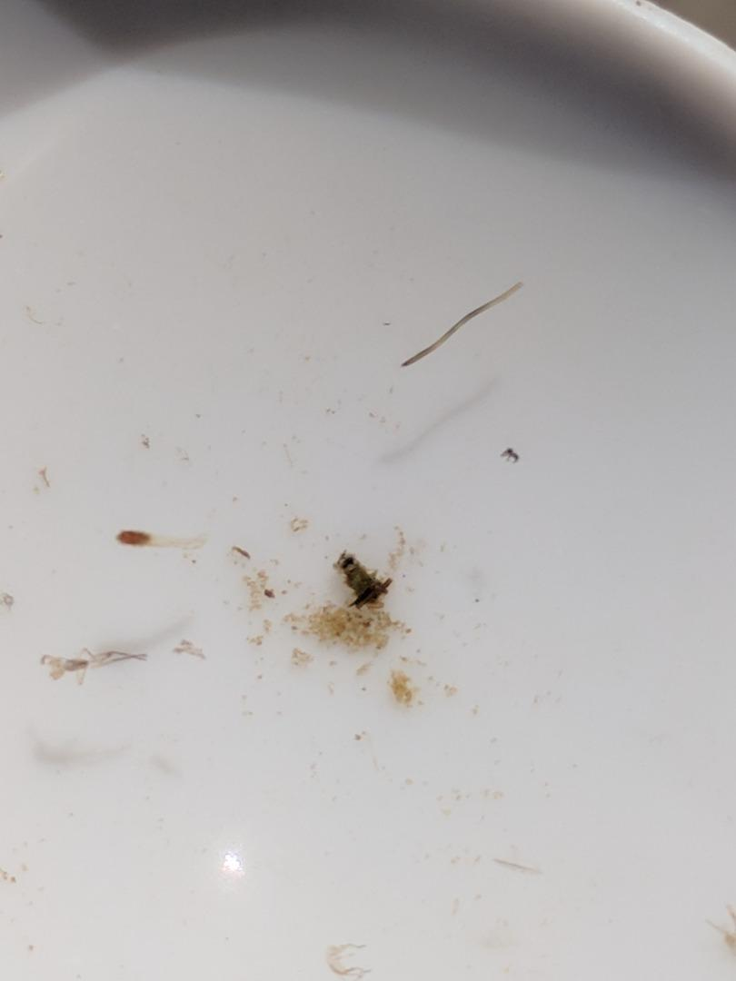 Unidentified tiny caddis 3-4 mm long..very messy case with algae, tiny sticks and ? sand