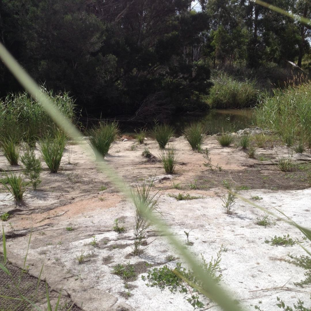 Replanting done on the reinstated bank of the creek near the inlet to the wetlands
