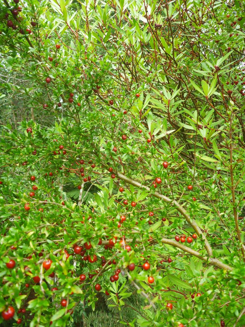 Red berry and mountain pepper vegetation - Falls Reserve.
