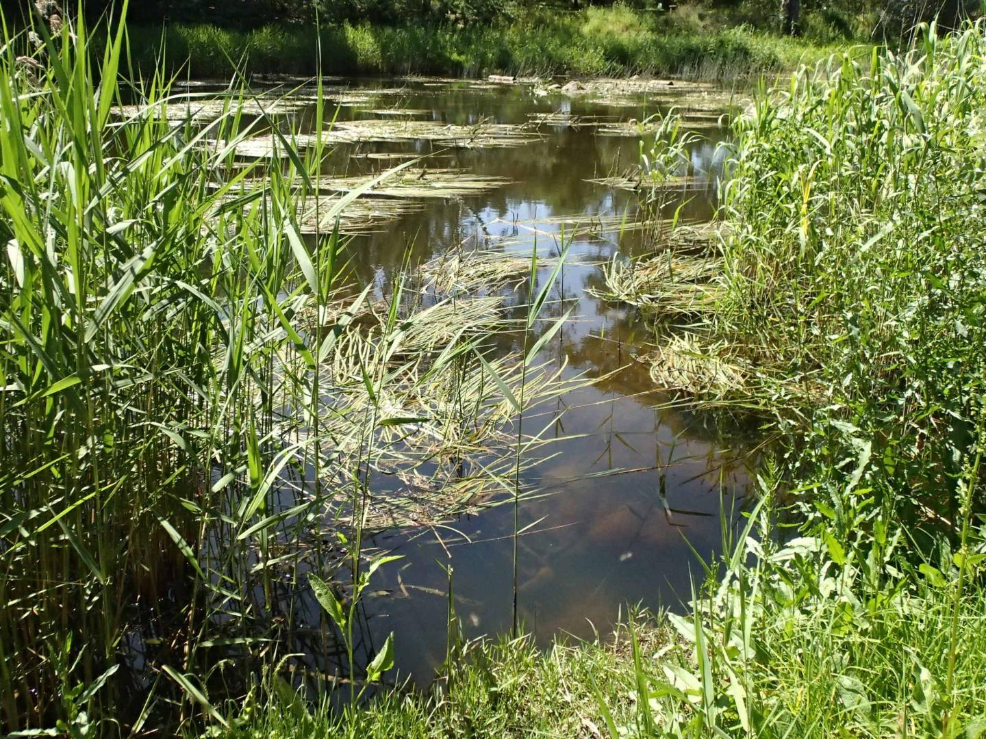 Water testing site, reed growth narrowing access point. Plenty of water ribbons.
