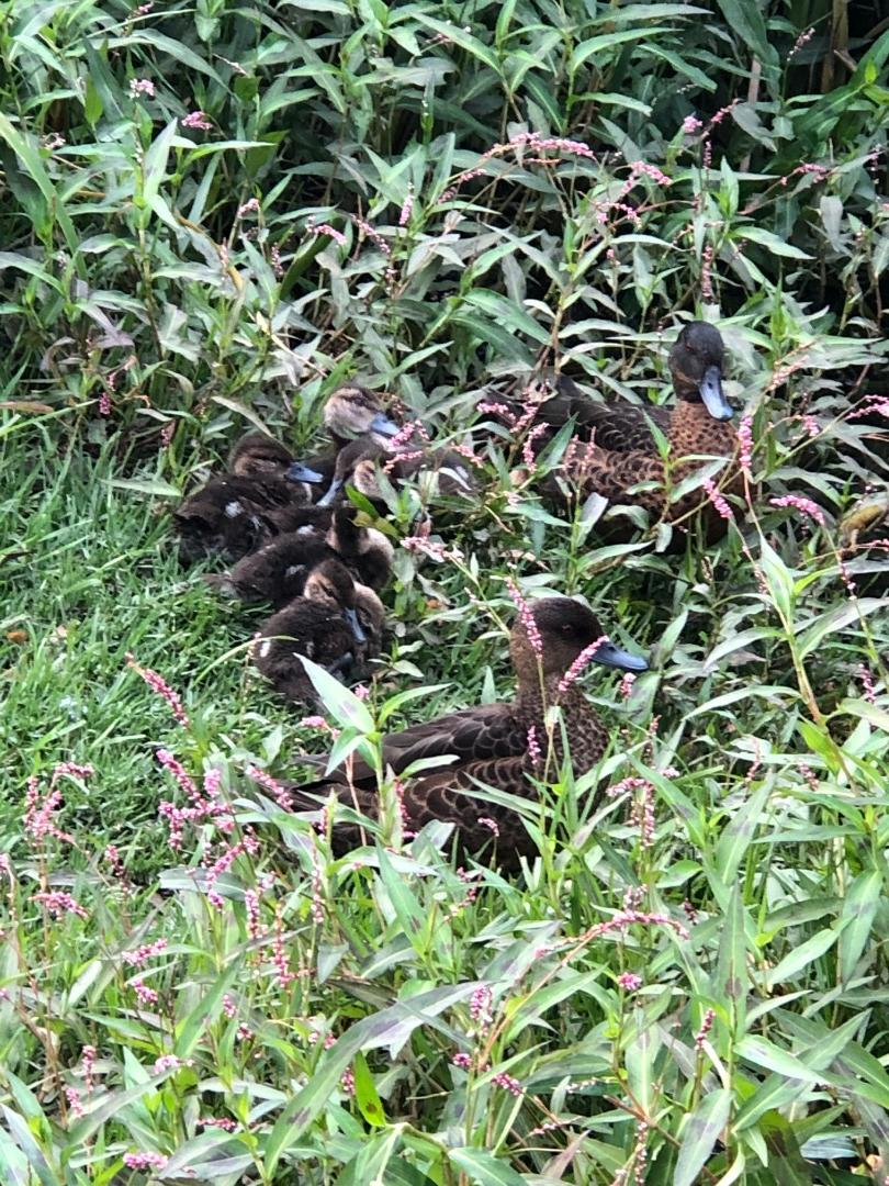 Pair of chestnut teal with 6 chicks