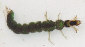 c. Family Hydrobiosidae (hunter caddis)