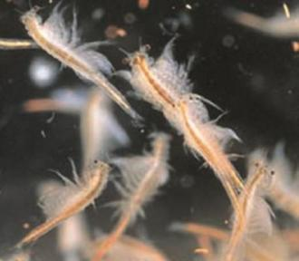 h. Order Anostraca (fairy shrimp and introduced sea monkeys)