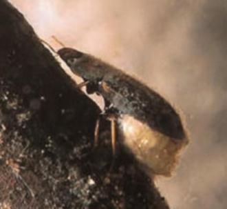 d. Family Hydrophilidae, Genus Helochares (Beetle adult)