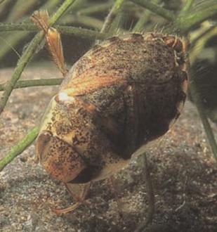 j. Family Naucoridae, Genus Naucoris (creeping water bugs)