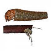 Cased caddis larvae